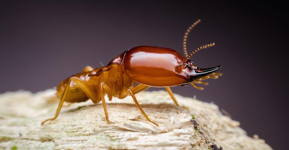 Termite Image